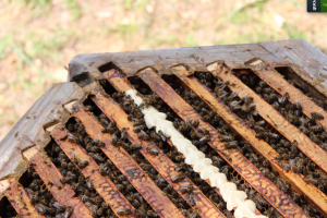 Milk Proteins for honeybees on a st johns hive