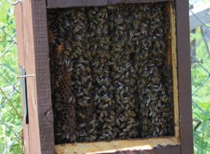 Honeybees inside a bird box